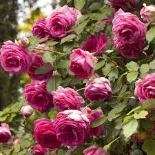 Fragrant Climbing Plants - pretty in pink eden rose climbing roses lightly fragrant
