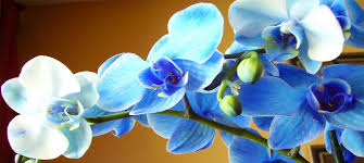 blue orchid flower blue orchid floral and gifts greensburg florist flowers gifts