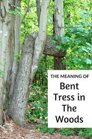 meaning of trees the meaning of bent tress in the woods bent trees might have a