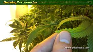 Recovering Cannabis Plants From High by Touching Your Cannabis Plant Leaves To Feel For Sick Ladies Youtube