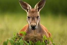 wander with the kangaroos at new mn zoo exhibit startribune com