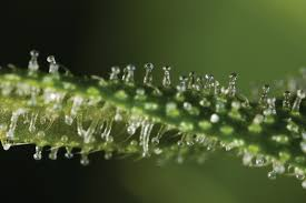 marijuana trichomes trichomes the complete guide honest marijuana