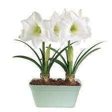 poinsettias christmas plants u0026 flowers the home depot