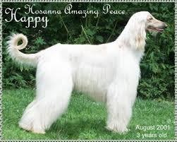 afghan hound gif white afghan hound animated gif angel afangel beautiful photos