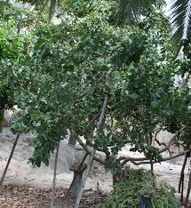 best 25 pistachio tree ideas on trees beautiful