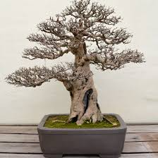 a visit with a 389 year old bonsai tree after orange county