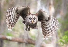 Owl Lovers by Hear The Many Different Hoots Of The Barred Owl Audubon