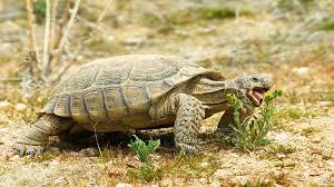desert tortoise animal profile