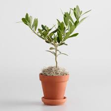 live mini olive tree in terracotta pot with saucer world market
