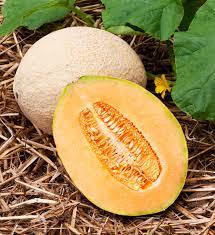 hale u0027s best jumbo cantaloupe tasty extra drought tolerant