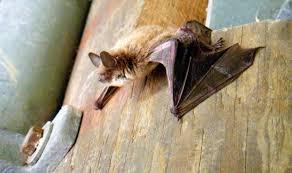 small bat brown bat chicago wilderness