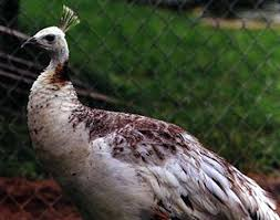i a black shoulder peahen for sale the peahen is five years