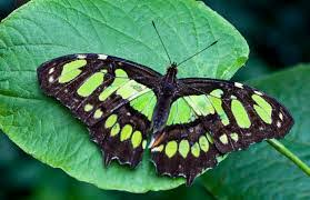 myths symbolism and meaning of green butterflies