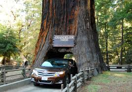 Chandelier Tree California Plan Your Escape World Travel Adventures Unhook Now For