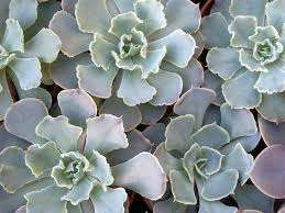 echeveria shaviana mexican hens and world of succulents