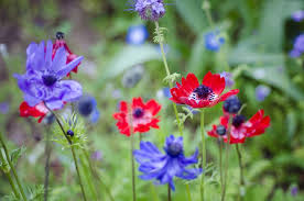 anemones flowers how to grow and care for anemone flowers