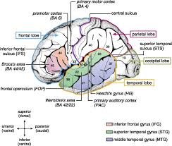Which Part Of The Brain Consists Of Two Hemispheres Articles Physiological Reviews