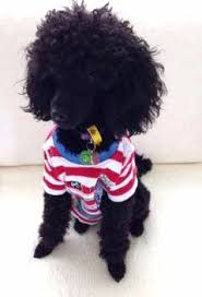 poodles long hair in winter clothing for toy poodles teacup extra and xx small