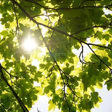 sun through the leaves of trees stock photo colourbox