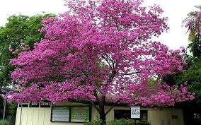 tabebuia tree for sale fort myers