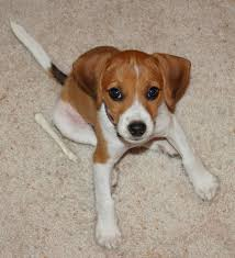 australian shepherd jack russell mix size jack russell beagle mix josie the beagle jack russell mix