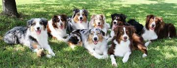 south carolina australian shepherd rescue australian shepherd