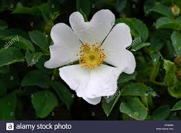 dog rose rosa canina wild climbing plant with pink and white