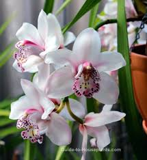 orchid plants cymbidium orchid plants care tips