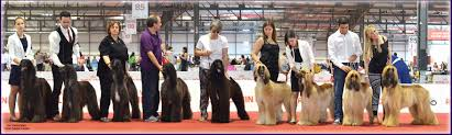 afghan hound kennel in australia history u2013 gran pamir afghans
