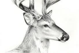 deer study by moth eatn on deviantart