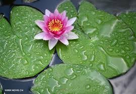 Lotus Flower Bloom - lotus flowers bloom at liuzhou expo garden in sw china u0027s guangxi