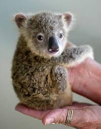 100 important koala pictures