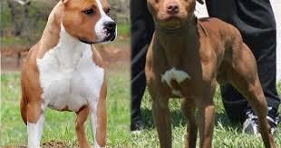 american stanford terrier y american pitbull terrier blog do pit bull american pit bull terrier vs american