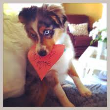 south dakota australian shepherd australian shepherd mini aussie puppy cute u0026 funny pinterest