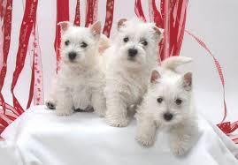 bedlington terrier seattle west highland white terrier puppies for sale akc puppyfinder