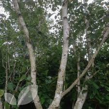 betula jacquemontii silver birch trees