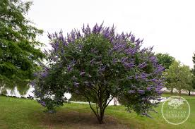 tree with purple flowers vitex are my favorite purple flowering tree in