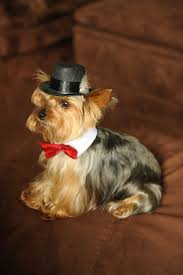 534 best yorkie love images on pinterest yorkies animals and