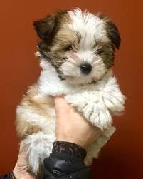 affenpinscher illinois oswego il yorkie yorkshire terrier meet i u0027m adopted confetti
