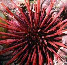 more resources about echinoderm the shape of life the story of