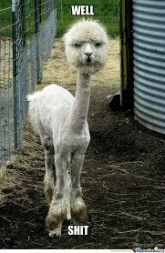 Llama Meme - shaved llama by lordjolt meme center