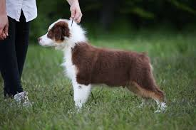5 month old mini australian shepherd ace puppies are 4 months old