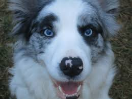 australian shepherd 2015 westminster meet the pa pups that will compete in the 2017 westminster dog