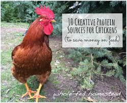 10 creative protein sources for chickens to help you save money on