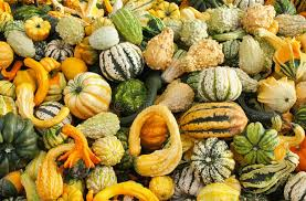 ornamental gourds stock photo image 41207534