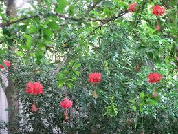 japanese lantern plant hibiscus schizopetalus lantern lantern exotica
