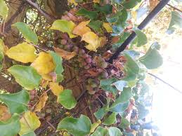 climbing fruiting vines