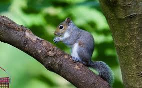 desktop wallpaper a squirrel at clumber park