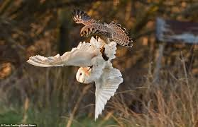 What Does A Barn Owl Look Like Chris Castling Photographs A Kestrel And Barn Owl In Tug Of War