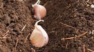 preparation for planting garlic in the fall organic gardening blog